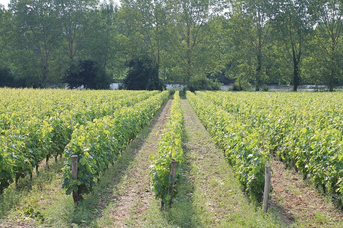 vineyards of ouraine-Oisly